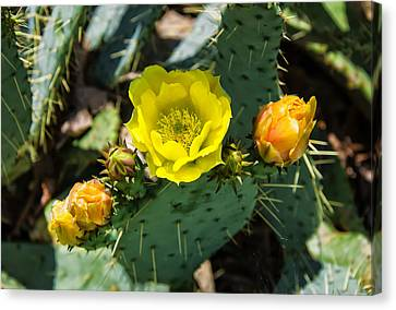 Prickly Pear Cactus And Flowers Canvas Print by Chris Flees