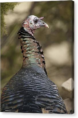 Rio Grande Wild Turkey Closeup Canvas Print by Gary Langley