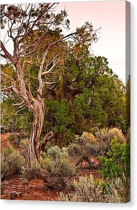 Weathered Tree Sunrise Canyon Dechelly Canvas Print by Bob and Nadine Johnston