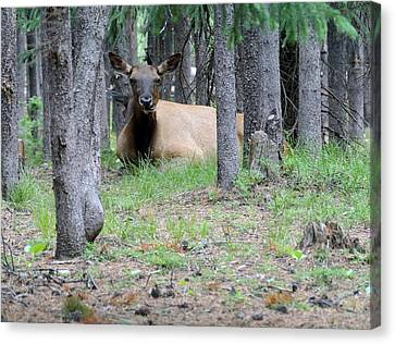 Yellowstone Park Elk  Canvas Print by Larry Stolle