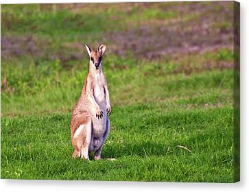 A Male Grey Kangaroos (macropus Canvas Print by Miva Stock
