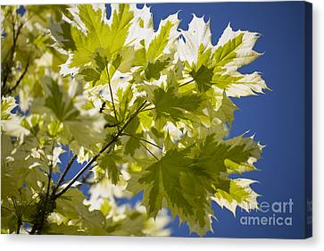Acer Platanoides Drummondii Canvas Print by Dr. Keith Wheeler