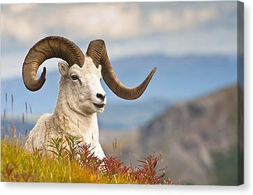 Adult Dall Sheep Ram Resting Canvas Print by Michael Jones