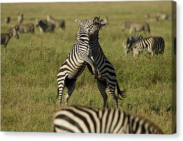 Africa, Tanzania, Serengeti National Canvas Print by Joe and Mary Ann Mcdonald