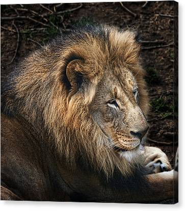 African Lion Canvas Print by Tom Mc Nemar