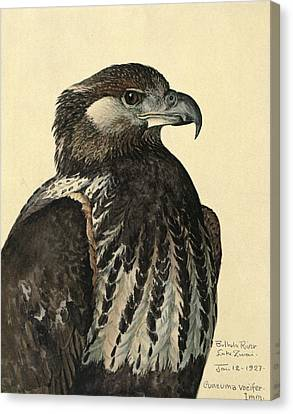 African Sea Eagle Canvas Print by Louis Agassiz Fuertes