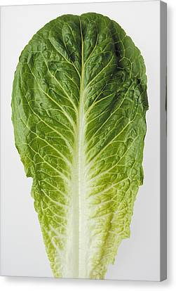 Agriculture - Closeup Of A Romaine Canvas Print by Ed Young
