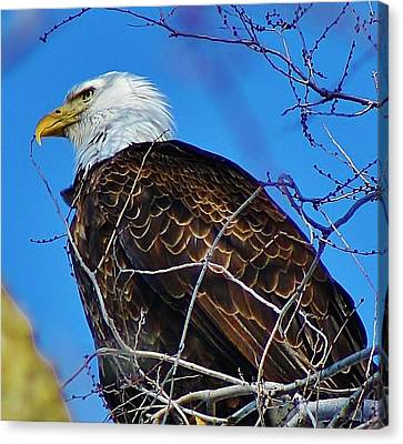 American Bald Eagle Canvas Print by Bruce Bley