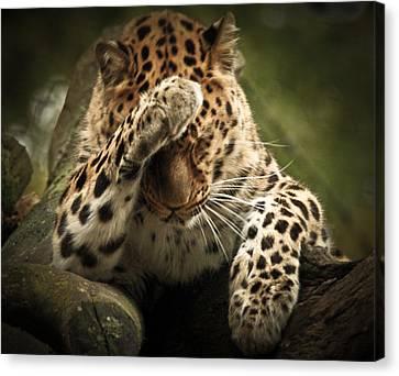 Amur Leopard Canvas Print by Chris Boulton