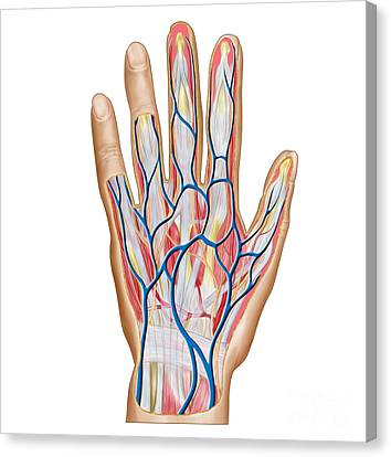Anatomy Of Back Of Human Hand Canvas Print by Stocktrek Images