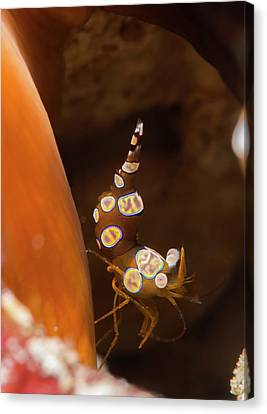 Anemone Shrimp On A Reef Canvas Print by Louise Murray