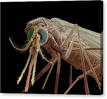 Anopheles Mosquito Canvas Print by Clouds Hill Imaging Ltd