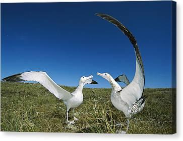Antipodean Albatross Courtship Display Canvas Print by Tui De Roy
