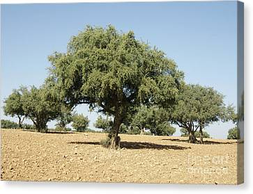 Argan Trees Argania Spinosa Canvas Print by Johnny Greig