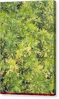Artemisia Vulgaris 'oriental Limelight' Canvas Print by Science Photo Library
