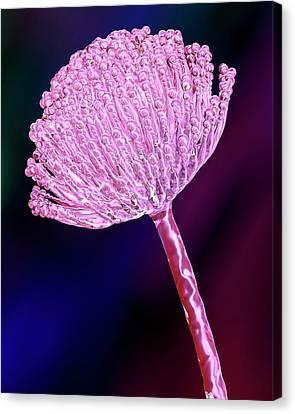 Aspergillus Fungus Canvas Print by Kateryna Kon