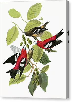 Audubon Crossbill Canvas Print by Granger