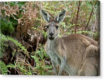 Australia, Perth, Yanchep National Park Canvas Print by Cindy Miller Hopkins