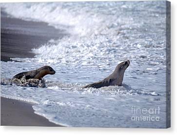 Australian Sea Lions Canvas Print by Gregory G. Dimijian, M.D.