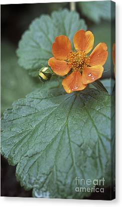 Avens Geum Georgenberg Canvas Print by Maxine Adcock