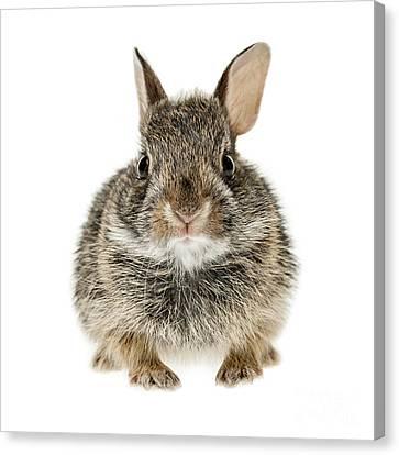 Baby Cottontail Bunny Rabbit Canvas Print by Elena Elisseeva