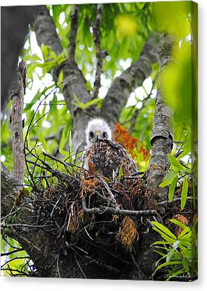 Baby Red Shouldered Hawk In Nest Canvas Print by Jai Johnson
