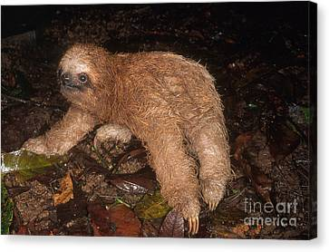 Baby Three-toed Sloth Canvas Print by Gregory G. Dimijian, M.D.