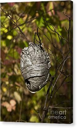 Bald-faced Hornet Nest Canvas Print by Linda Freshwaters Arndt