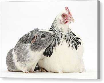 Bantam Hen And Guinea Pig Canvas Print by Mark Taylor