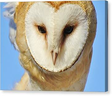Barn Owl Up Close Canvas Print by Paulette Thomas