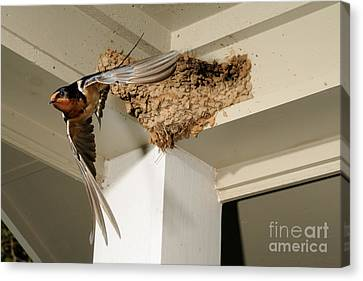 Barn Swallow Canvas Print by Scott Linstead