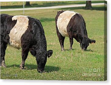 Belted Galloways Canvas Print by J McCombie