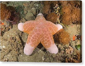 Big-plated Sea Star Canvas Print by Andrew J. Martinez