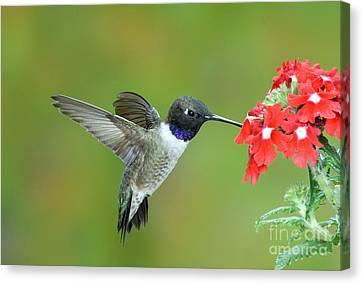 Black Chinned Hummingbird Canvas Print by Anthony Mercieca
