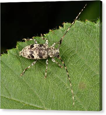 Black-clouded Longhorn Beetle Canvas Print by Nigel Downer