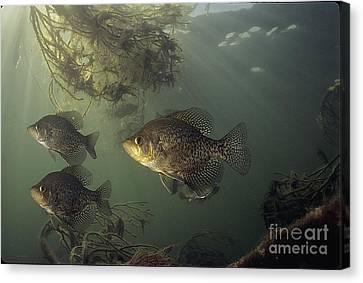 Black Crappie Trio Canvas Print by Engbretson Underwater Photography
