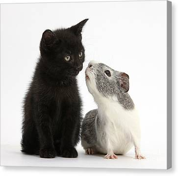 Black Kitten And Guinea Pig Canvas Print by Mark Taylor