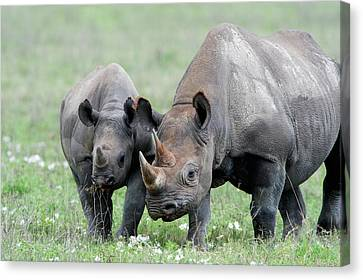 Black Rhinoceros Diceros Bicornis Canvas Print by Panoramic Images