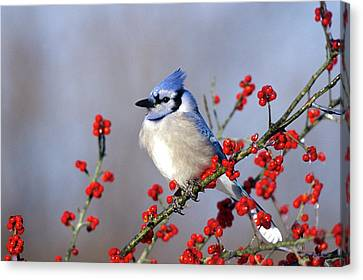 Blue Jay (cyanocitta Cristata Canvas Print by Richard and Susan Day