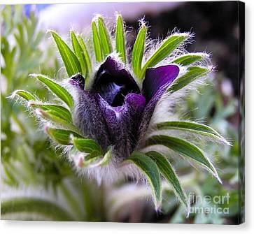 Blue Pasque Flower - Closeup Canvas Print by Kerstin Ivarsson