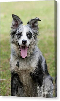 Border Collie Canvas Print by William H. Mullins