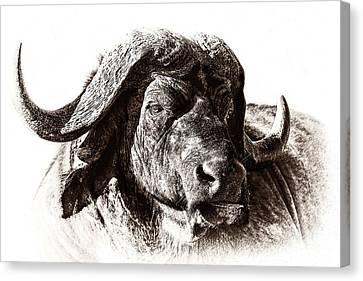 Buffalo Sketch Canvas Print by Mike Gaudaur