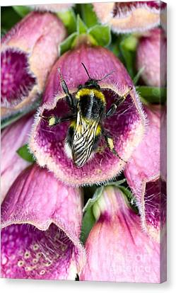 Bumblebee And Foxglove Hybrid Canvas Print by Dr. Jeremy Burgess