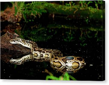 Burmese Python, Python Molurus Canvas Print by David Northcott