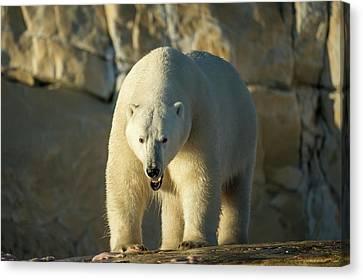 Canada, Nunavut Territory, Polar Bear Canvas Print by Paul Souders