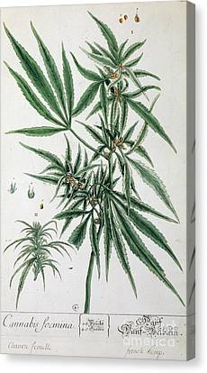 Cannabis  Canvas Print by Elizabeth Blackwell
