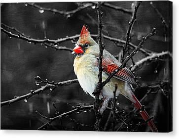Cardinal On A Rainy Day Canvas Print by Trina  Ansel