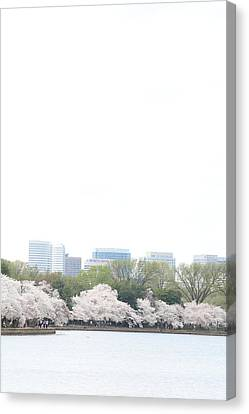 Cherry Blossoms - Washington Dc - 011316 Canvas Print by DC Photographer