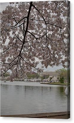 Cherry Blossoms - Washington Dc - 011337 Canvas Print by DC Photographer