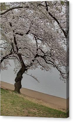 Cherry Blossoms - Washington Dc - 011343 Canvas Print by DC Photographer